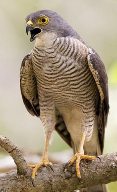 Meyer's Goshawk (Accipiter meyerianus) is a species of bird of prey in the Accipitridae family. It is found in Indonesia, Papua New Guinea, and Solomon Islands.