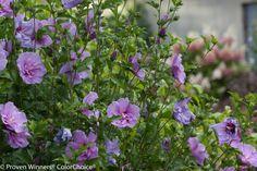 Lavender+Chiffon™+-+Hibiscus+syriacus