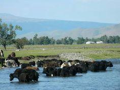 Les yack aussi se baignent!