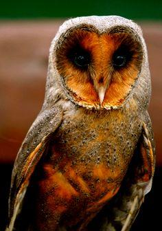 Owl - フクロウ