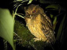 Colombian Screech Owl: Tandayapa Bird Lodge, Ecuador