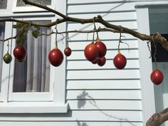 tamarillos at peter peryers Wind Chimes, Photographers, Outdoor Decor, Collection, Home Decor, Decoration Home, Room Decor, Home Interior Design
