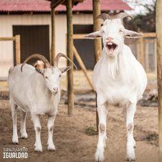 Félix : Los días nublados me dan sueeeeeeeeeeeeeeeeño. - - #santuarioigualdad #santuariodeanimales #animales #animalesfelices #animaleslibres #animalesfantasticos  #instachile #chile #chilegram #instachile_ #instachilegram #veganoschile #vegetarianoschile #sueño #cabra #sincrueldad #respetaalosanimales #sincrueldadanimal #paz #libertad #amigosnocomida #animalesnocomida #vegano #vegetarianos
