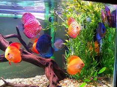 Love my freshwater discus!!