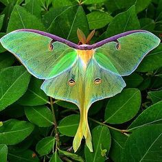 Really want a luna moth tattoo Beautiful Bugs, Beautiful Butterflies, Amazing Nature, Beautiful Butterfly Pictures, Cool Insects, Bugs And Insects, Flying Insects, Beautiful Creatures, Animals Beautiful