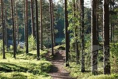 Trees and walking track, Punkaharju Nature Reserve, Punkaharju ...