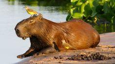 Foto van de dag: het grootste knaagdier ter wereld! Bekijk hier meer foto's van National Geographic: http://natgeotv.com/nl/photo-of-the-day