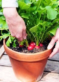 Container vegetable gardening, radishes growing in pot