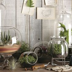 A terrarium garden of one's own. Both the terrariums and the succulents can be had from WestElm.com