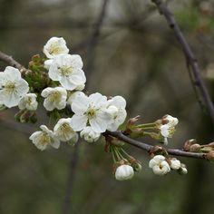 Kirschblüte der Schattenmorelle (Sauerkirsche)