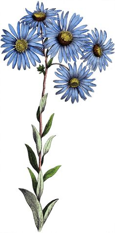 Blue Daisy Flowers Image - Botanical! - The Graphics Fairy