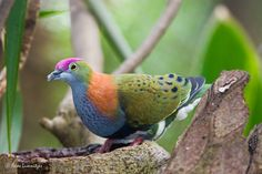 Have you ever heard of the fruit dove? Quite a beautiful creature!