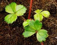 how to save strawberry runners for next year