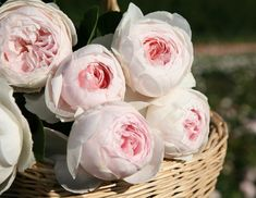 Earth Angel Rose - Floribunda - Exceptionally Fragrant - Earth Angel™ – 2017 New Introductions – Roses – Heirloom Roses Looks just like a Peony but - Pink And White Flowers, Pink Roses, Tea Roses, Yellow Roses, Pink White, Purple Flowers, Comment Planter Des Roses, Heirloom Roses, Planting Roses