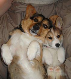 Noble Hearts Pembroke Welsh Corgi Breeder Puppies for sale                                                                                                                                                     More