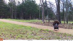 Oak Creek Gobbler 4-10-17