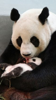 20ago2013---panda-gigante-yuan-yuan-lambe-seu-filhote-no-zoologico-de-taipe-taiwan-em-imagem-divulgada-nesta-terca-feira-20-1376981781029_1079x1920.jpg (1079×1920)
