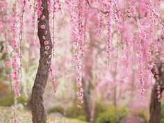 They keep track on the sakura front (or sakura zensen), which is basically an imaginary flower blooming line that travels from south to north, signifying the sakura blossoming season. It starts in January in Okinawa and slowly makes it way up to Kyoto and Tokyo by the end of March or beginning of April.