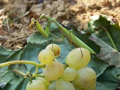 Imádkozó sáska 011. Fruit, Nature, Naturaleza, The Fruit, Natural, Scenery