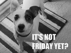 It's not Friday yet?  - Qoo the Jack Russell