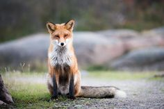 Red Fox by Nicklas Blom on 500px
