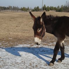 Sponsoring a donkey, mule, or hinny here at the Donkey Sanctuary of Canada will help to provide support for animals here at the Sanctuary. Funny Donkey Pictures, A Donkey, Cattle Farming, Farms Living, Handsome, Horses, Animals, Animaux, Beef Farming