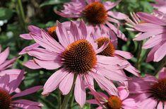 piante medicinali echinacea Creare un giardino medicinale: quali sono le piante da coltivare