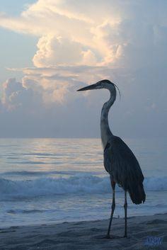 Heron Taking in the Sunrise ϟ by Source: asthmas Pretty Birds, Beautiful Birds, Animals Beautiful, Foto Art, Blue Heron, All Gods Creatures, Sea Birds, Bird Art, Beautiful Creatures