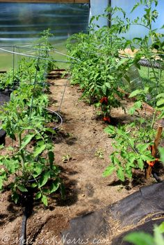 How to prune your tomatoes for the best harvest.