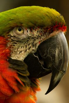 Harlequin Macaw by (Kelley Parker Photography)