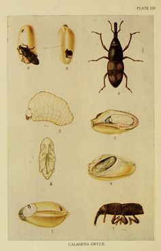 v.2 (1920) - Report of the proceedings of the ... Entomological Meeting. - Biodiversity Heritage Library