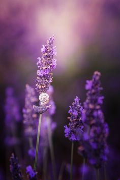 The snail shell in lavender