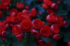 A bunch of rose