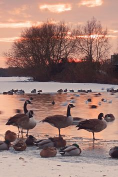 Sunset and Wild Geese In Winter, Attenborough Nature Centre, Nottinghamshire, England