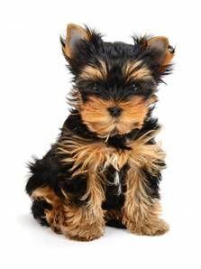 """cute teacup yorkshire """"yorkie"""" pup"""