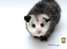 Nice opossum portrait.