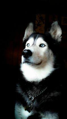 os lobos são mesmo impresionamte com os olhos Azuis