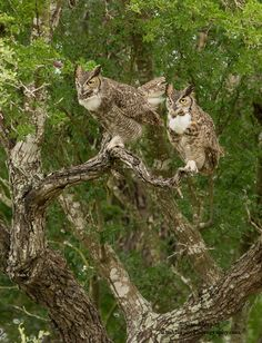 Great Horned Owls www.alanmurphyphotography.com