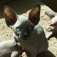 sphynx Cats & kittens For Sale in Inland Empire  eBay Classifieds ...