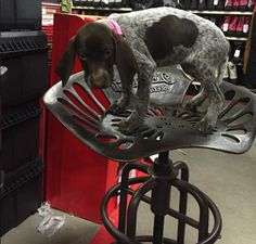 Miss Kimber the puppy loves the Tractor Supply iron tractor stools!