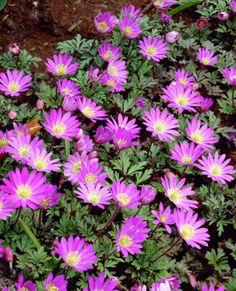 Balkan-Wildröschen 'Violet Star' • Anemone blanda 'Violet Star' • Frühlingsanemone 'Violet Star' • Balkananemone 'Violet Star' • Pflanzen & Blumen • 99Roots.com
