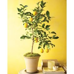 Grow Citrus Indoors ❤ liked on Polyvore featuring backgrounds, pictures and yellow