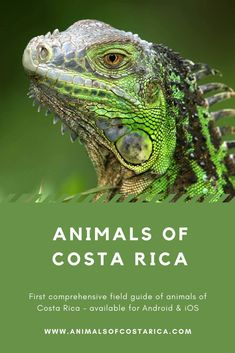 This app is the first comprehensive field guide of animals of Costa Rica containing almost 7000 pictures of more than 4700 common or spectacular species from mammals, reptiles, birds, amphibians as well as freshwater and marine fish to insects and spiders and many more. This image shows a Green Iguana (Iguana iguana). #ACRApp #AnimalsOfCostaRica #Reptiles #Lizards #PuraVida Amphibians, Reptiles, Mammals, Lizards, Green Iguana, Marine Fish, Field Guide, Image Shows, Costa Rica