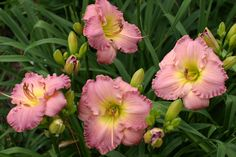 ABSOLUTE TREASURE daylily - have
