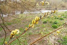 Yellow catkins emerge by River Till in Northumberland, England,