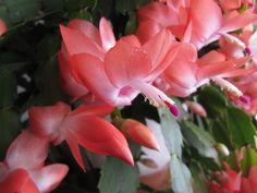 Így lesz sok virág a karácsonyi kaktuszon! | Balkonada Arduino, Flowers, Plants, Gardening, Florals, Garten, Planters, Lawn And Garden, Garden