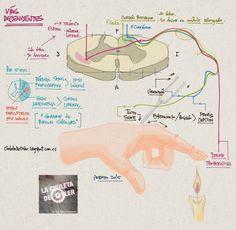 La Chuleta de Osler: Neurología - Vías ascendentes: Propiocepción y termoalgesia