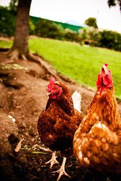 Hens are fabulous! #hensdeservebetter