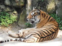 What do tigers dream of when they take a little tiger snooze...