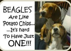 Beagles are like potato chips, it's hard to have just one :) just thinking about getting another one